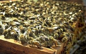 Tajemství tepla ve světě včel odhaleno