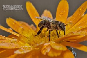 Více včelařů, méně medu. Extrémní teploty se podepsaly na sladkém mámení