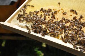 Nemoci včel se šíří i kvůli rozmachu laiků. Včelaření se stává symbolem ekologického smýšlení